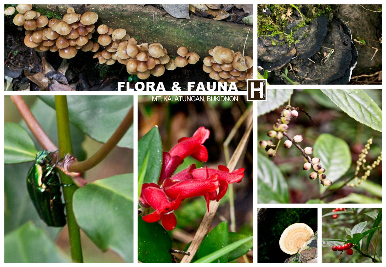 Some indigenous species of berries, mushrooms, flowers and a beetle we saw while trekking Mt. Kalatungan